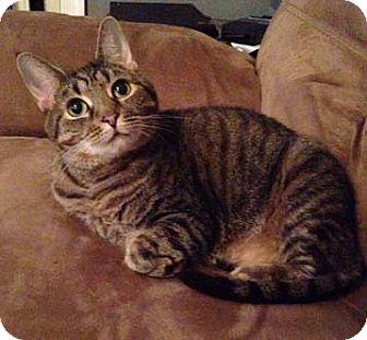 Domestic Shorthair Cat for adoption in Merrifield, Virginia - Princess