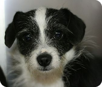 Terrier (Unknown Type, Small) Mix Dog for adoption in Canoga Park, California - Maisy