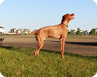 Vizsla Dog for adoption in Otsego, Minnesota - Gus