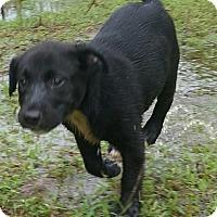 Labrador Retriever Mix Puppy for adoption in Acworth, Georgia - Athena