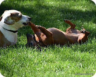Dachshund Dog for adoption in Spokane, Washington - Little Girl-6 yrs, 7 pds, $250