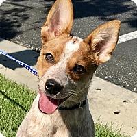 Adopt A Pet :: Tinker Bell - Anaheim, CA