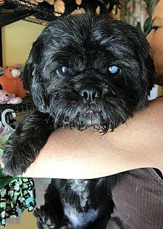 Shih Tzu Dog for adoption in Mooresville, North Carolina - Vince