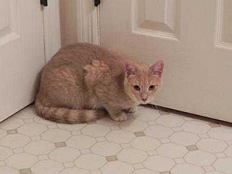Domestic Shorthair Cat for adoption in Fayetteville, Tennessee - Joey