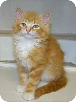 Domestic Longhair Kitten for adoption in Ladysmith, Wisconsin - Bettty