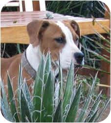 Boxer/Labrador Retriever Mix Puppy for adoption in Poway, California - Boo Girl