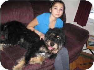 Labradoodle Dog for adoption in Lombard, Illinois - Shamus