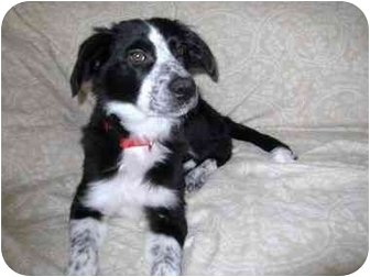 Border Collie/Australian Shepherd Mix Dog for adoption in Naperville, Illinois - Rosie-Adoption Pending