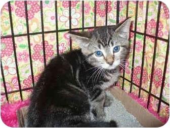 Domestic Shorthair Kitten for adoption in Colmar, Pennsylvania - Moonlight