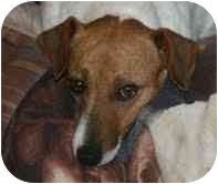 Jack Russell Terrier Mix Dog for adoption in Portland, Maine - Priscilla