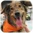 Photo 1 - Collie/Shepherd (Unknown Type) Mix Dog for adoption in Chicago, Illinois - Savannah