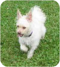 Bichon Frise/Chihuahua Mix Dog for adoption in Aylmer, Ontario - Casper