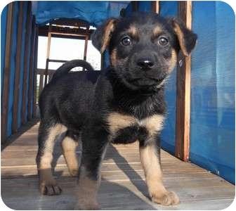 Australian Shepherd/Labrador Retriever Mix Puppy for adoption in Cincinnati, Ohio - Dentyne