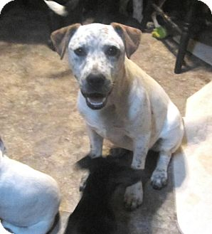 Australian Cattle Dog/American Pit Bull Terrier Mix Dog for adoption in Copperas Cove, Texas - Tuck (Spock)