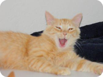 Domestic Longhair Cat for adoption in Naples, Florida - Denver