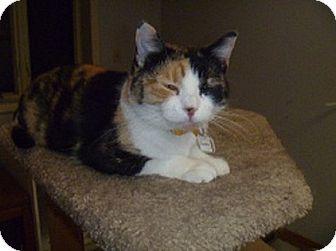 Colorpoint Shorthair Cat for adoption in Hamburg, New York - Debbie