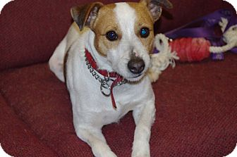 Jack Russell Terrier Dog for adoption in Elyria, Ohio - Jack-Prison Dog