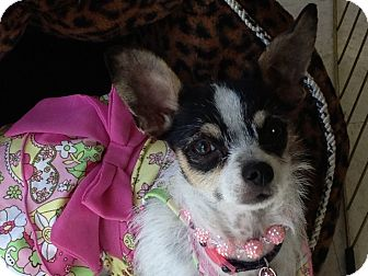 Rat Terrier/Jack Russell Terrier Mix Dog for adoption in Brea, California - Jenna