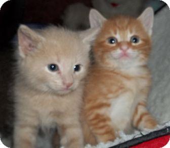 Domestic Shorthair Kitten for adoption in Acme, Pennsylvania - Orange & Buff