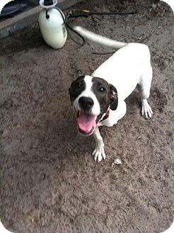Treeing Walker Coonhound/Collie Mix Puppy for adoption in Groveland, Florida - Showtime