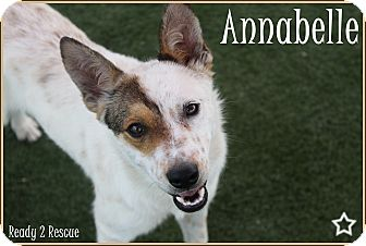 Australian Cattle Dog Dog for adoption in Rockwall, Texas - Annabelle