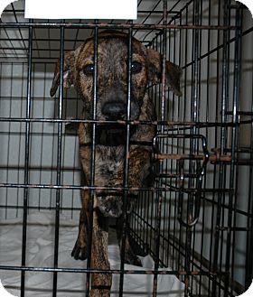 Shepherd (Unknown Type) Mix Puppy for adoption in San Antonio, Texas - Madonna