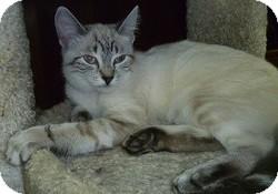 Siamese Cat for adoption in Hamburg, New York - Lilac