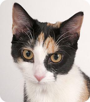 Calico Kitten for adoption in Chicago, Illinois - Sarah