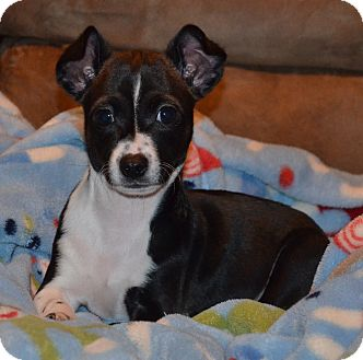 Chihuahua/Boston Terrier Mix Puppy for adoption in Hagerstown, Maryland - Bongo