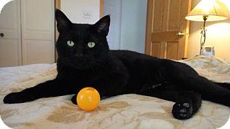 Domestic Shorthair Cat for adoption in Wilton, New York - Tinker