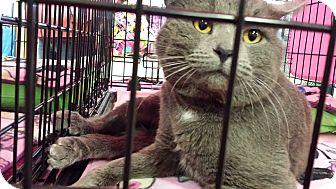 Domestic Shorthair Cat for adoption in Irwin, Pennsylvania - Barney