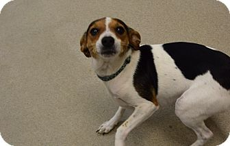 Beagle Mix Dog for adoption in Bucyrus, Ohio - Penny
