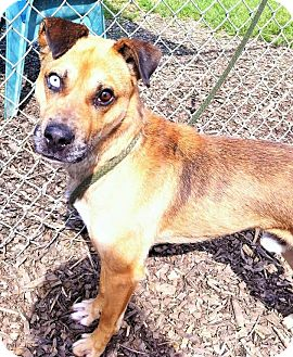 Shepherd (Unknown Type) Mix Dog for adoption in Flint, Michigan - Blue - Rescued