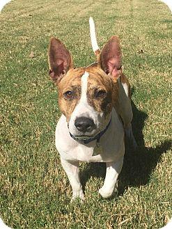 Corgi/Terrier (Unknown Type, Medium) Mix Dog for adoption in HAGGERSTOWN, Maryland - HAMLET