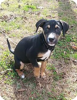 Terrier (Unknown Type, Small)/Beagle Mix Puppy for adoption in Union City, Tennessee - Zoey