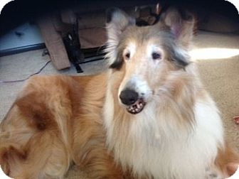 Collie Dog for adoption in Powell, Ohio - Nellie