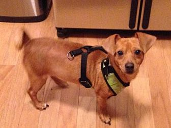 Chihuahua/Dachshund Mix Dog for adoption in Alpharetta, Georgia - Barnsley