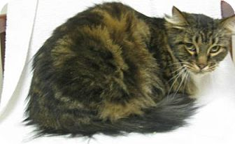 Domestic Mediumhair Cat for adoption in Gary, Indiana - Dutch