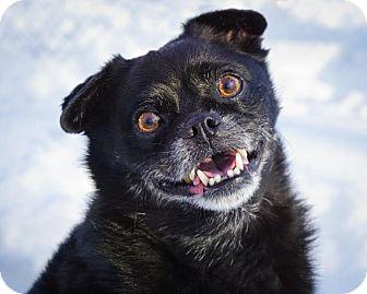 Pug/Schipperke Mix Dog for adoption in Holliston, Massachusetts - Cricket