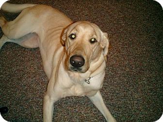 Labrador Retriever Dog for adoption in Palatine/Kildeer/Buffalo Grove, Illinois - Daisy