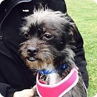 Adopt A Pet :: Ariel - Beavercreek, OH