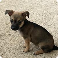Adopt A Pet :: Spider Gwen - Las Vegas, NV