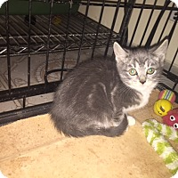 Adopt A Pet :: Sweetie - Forest Hills, NY