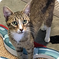 Domestic Shorthair Cat for adoption in Loogootee, Indiana - Parker