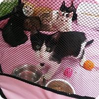 Adopt A Pet :: Doogie - Centerton, AR