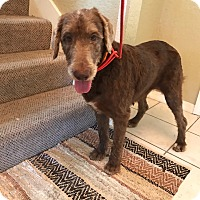 Adopt A Pet :: Toffee - Labradoodle - St. Petersburg, FL
