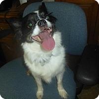Papillon/Chihuahua Mix Dog for adoption in Glastonbury, Connecticut - Lilli
