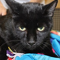 Domestic Shorthair Cat for adoption in Las Vegas, Nevada - EMIL