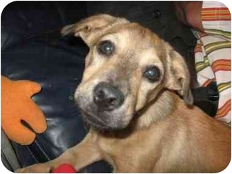 Basset Hound/Dachshund Mix Puppy for adoption in Lancaster, South Carolina - Butch