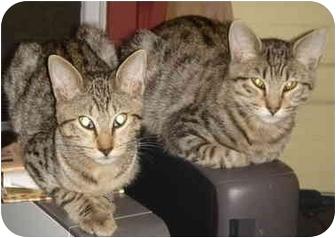 Domestic Shorthair Kitten for adoption in Albany, Louisiana - Bam Bam
